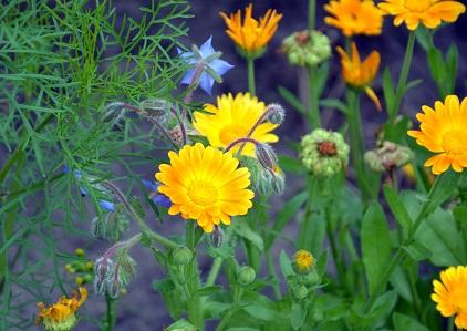 Borretsch und Ringelblume - Essbare Blüten